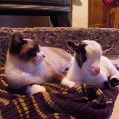 Chevreau rejeté par sa mère, au chaud à la maison !